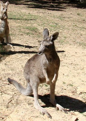 Kangaroo_ABC_Local_Margaret_Burin.jpg